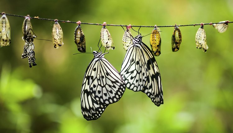 Paper Kite Butterfly Chrysalis