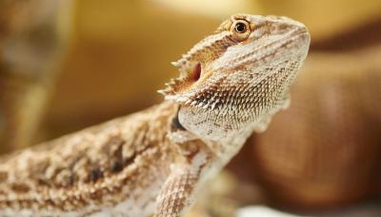 Bearded Dragons Like Dogs