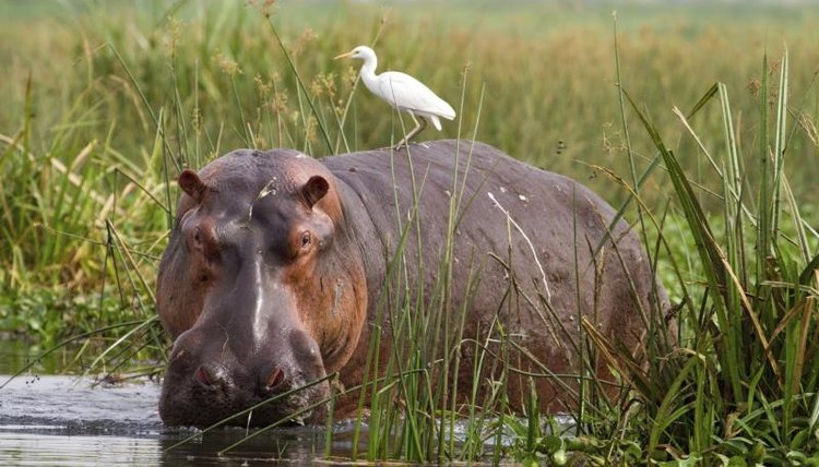 A hippo in quest of food