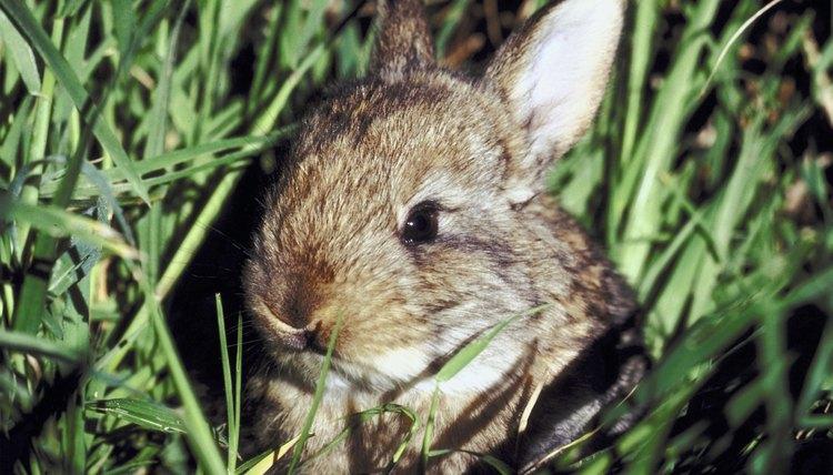 How Do I Topically Apply Ivermectin on a Rabbit?   Animals
