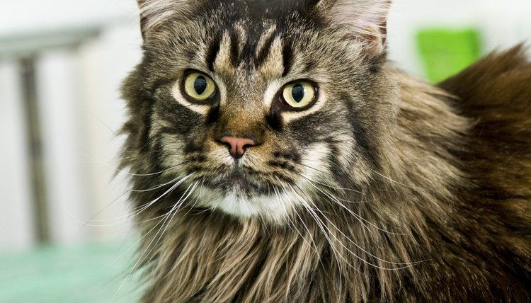 How much do maine coon cats weigh animals for Koi pond maine coon cattery