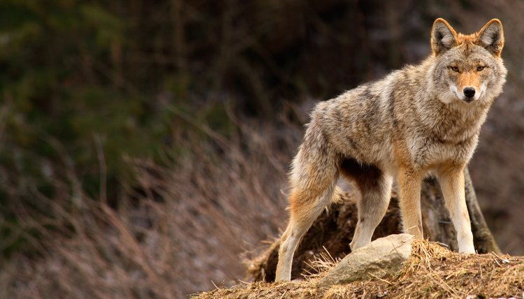 How to Identify Coyote Tracks | Animals - mom me