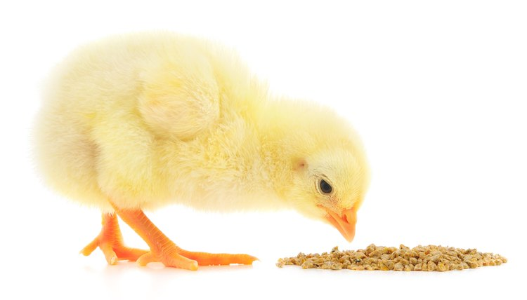 What Kinds Of Foods Do Baby Chickens Eat Animals Mom Me