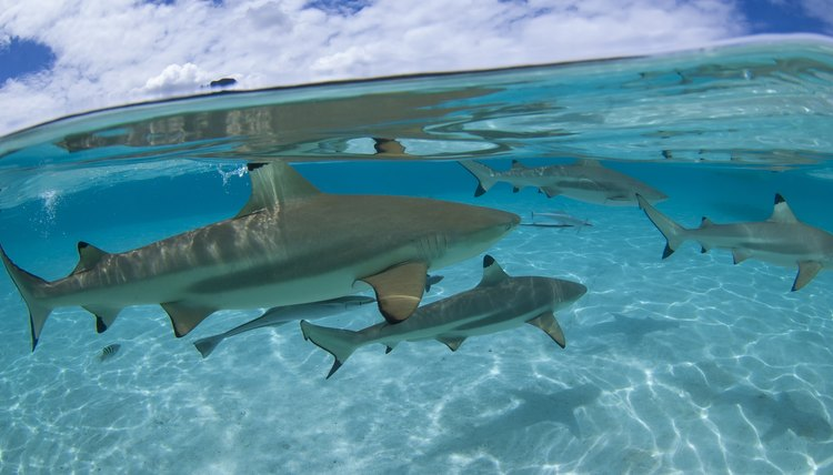 How To Tell The Difference Between A Male Female Shark Animals