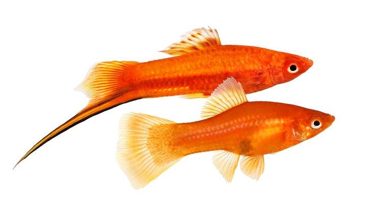 Mandlige Og Kvindelige Fisk Forskel