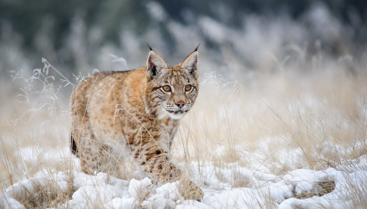 Eurasian lynx cub walking on snow with high yellow grass