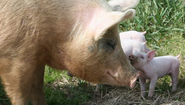 How a Mother Pig Takes Care of Her Piglets | Animals - mom me