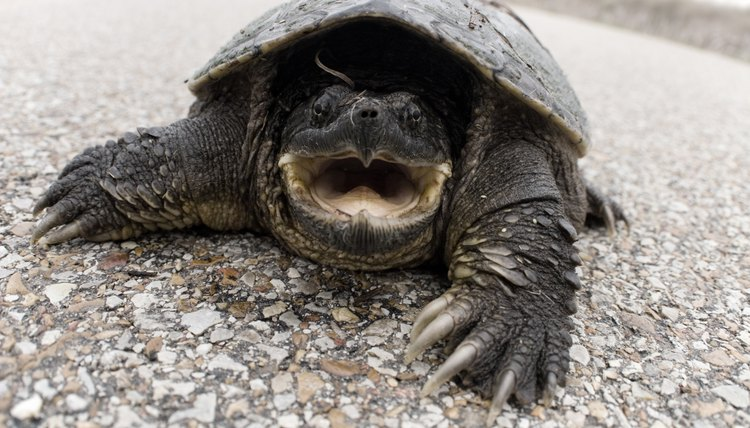What Can You Do if You Get Bit by a Snapping Turtle