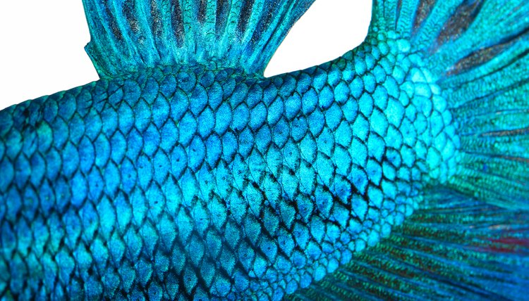 what are fish scales used for  animals  mom