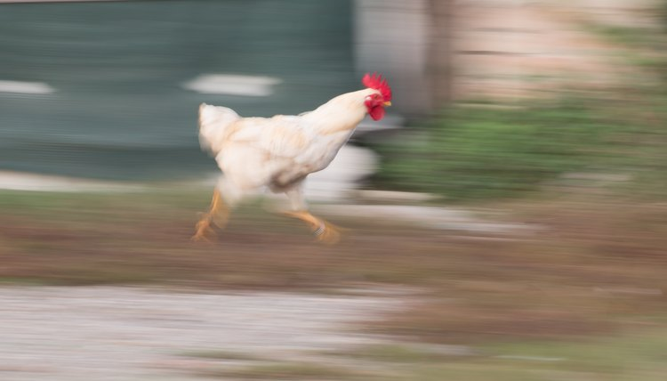 How Fast Does A Chicken Run Animals Momme