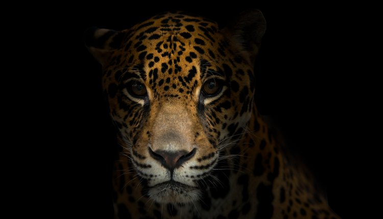Jaguars Are Shy, Reclusive Animals That Live In The Grasslands, Swamps And  Jungles Of The Western Hemisphere. Once Abundant In Their Natural Habitat,  ...