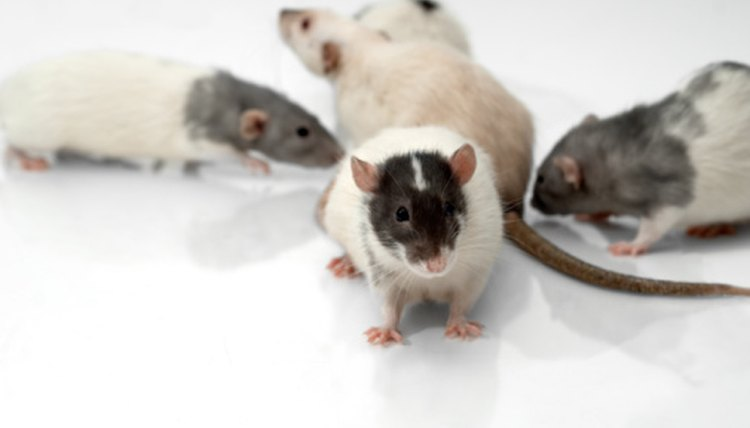 What Chemicals Can You Use to Get Rid of a Rat Smell?   Animals - mom me