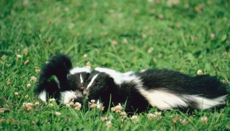 Skunk In Backyard how to handle a dead skunk | animals - mom