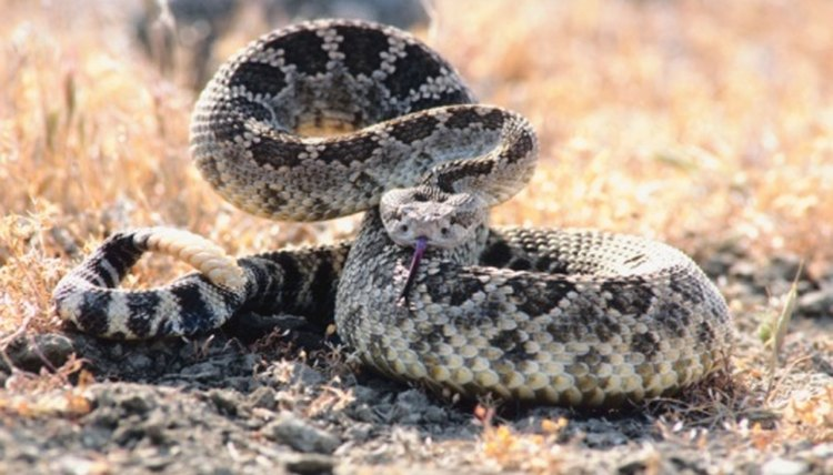 How Fast Can a Rattlesnake Bite Kill? | Animals - mom me