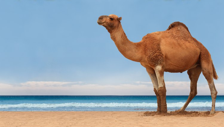 A camel's hump stores fat, not water. As he eats and drinks, he builds hump fat reserves that sustain him through lean times. A camel's water intake varies ...