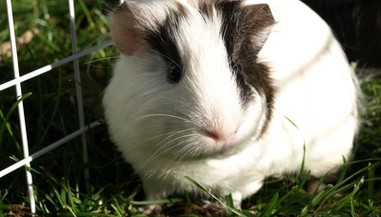 A guinea pig's nose is pink.
