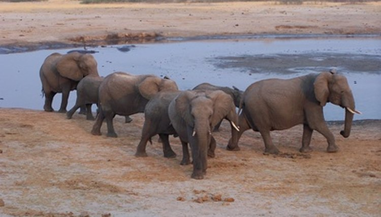 In 2003, Zoogoer estimated only 30,000 to 40,000 Asian elephants in the world.