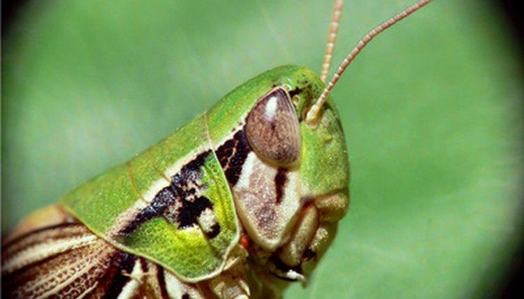 How Do Grasshoppers Hear? | Animals - mom.me