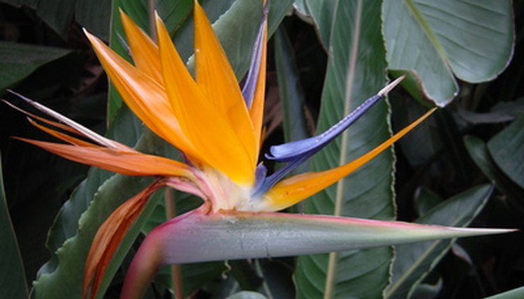 Brightly plumed birds of paradise symbolize joy.