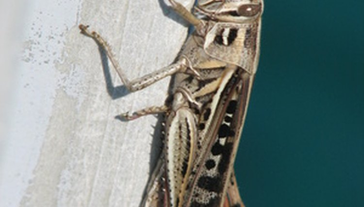 Crickets are considered good luck in some Asian and Native American cultures.