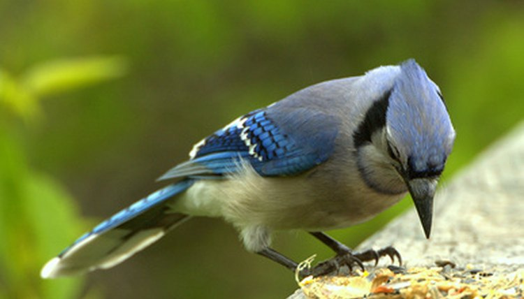 What Are The Stages Of Life For A Baby Blue Jay Animals Mom