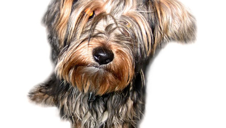 How To Feed Yorkies A Raw Diet Animals Momme