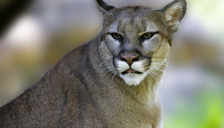 The cougar was once prevalent in North Carolina.
