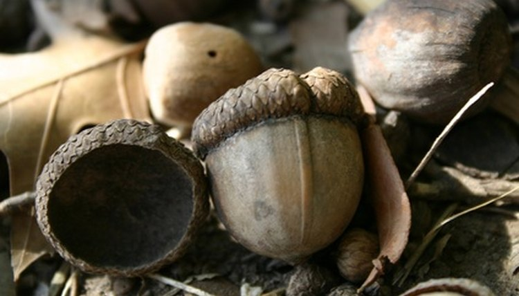 Maidu women and girls used tools to grind acorns into meal.