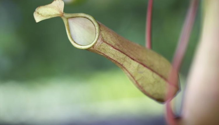 CLose-up of a pitcher plant