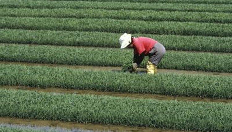 Laborer in fields.