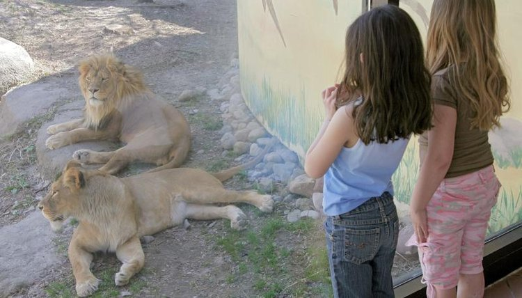 Two girls watching lions at the zoo.