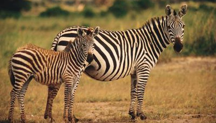 Two zebras in the wild.