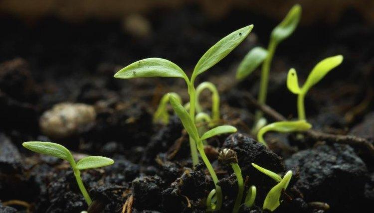 Parsley seeds germinating.