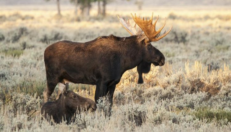 A bull moose standing in a field.