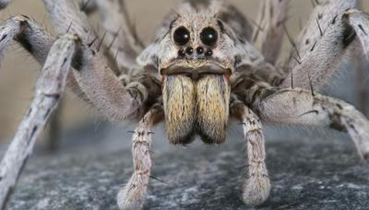 A wolf spider's  bite is venomous and can take days to heal.