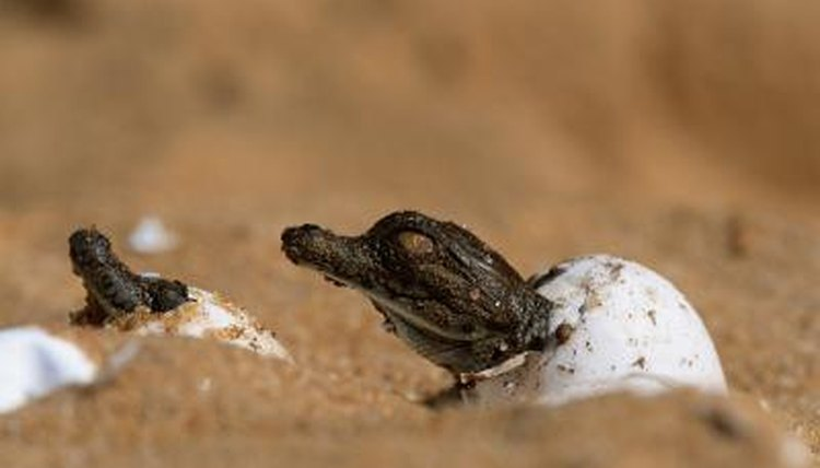 Nile crocodiles hatching out of eggs.