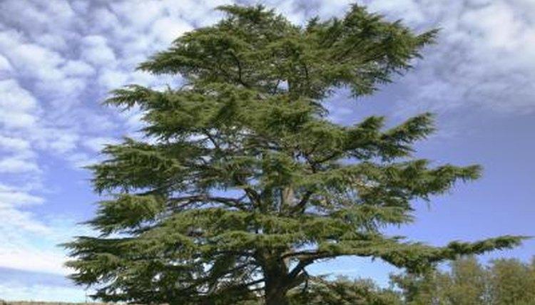 Lebanese Cedar tree.
