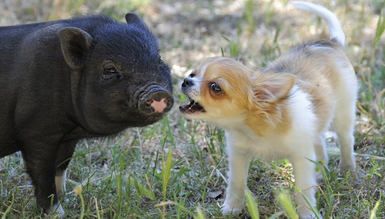 Can Pot Bellied Pigs Get Along With Dogs Animals Mom Me