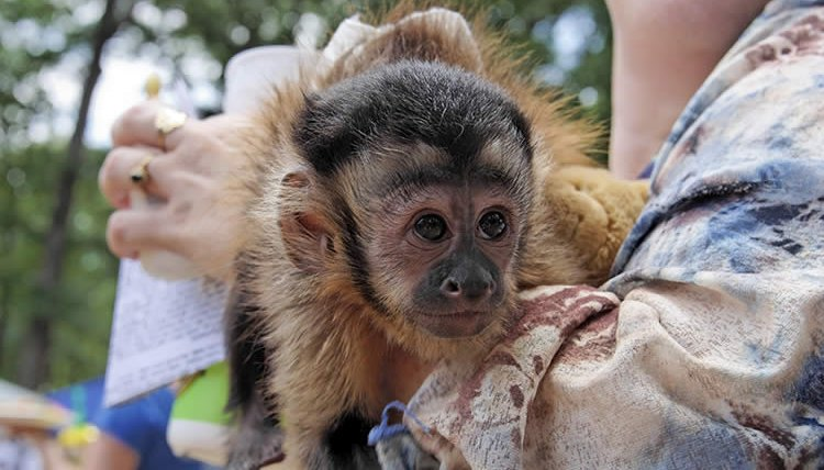 What Monkey Breeds Can Be Pets Animals Mom Com