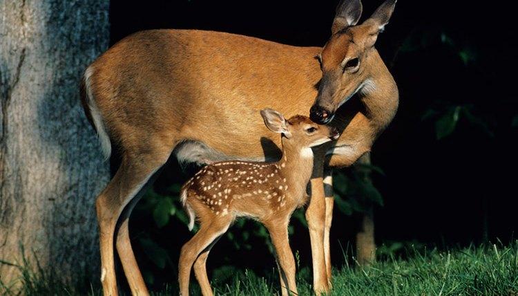 deer diet food that they eat