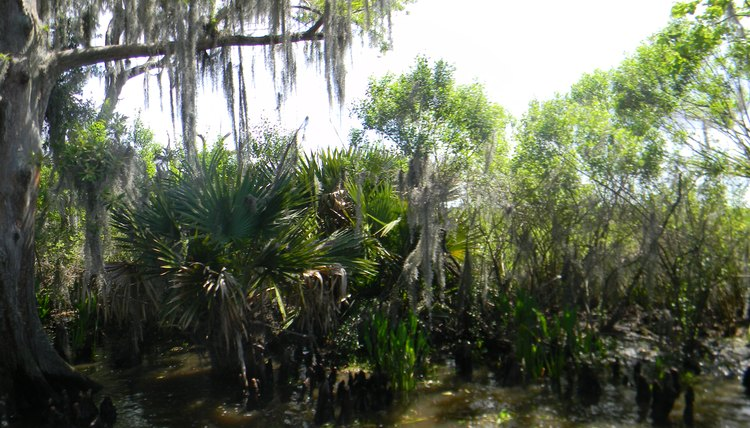 Cypress trees and palmettos growing side by side in a Louisiana swamp.