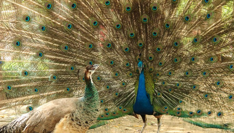Visual Differences Between Male & Female Peacocks | Animals