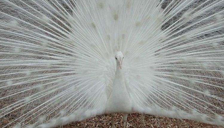 white peacock bird information animals mom me