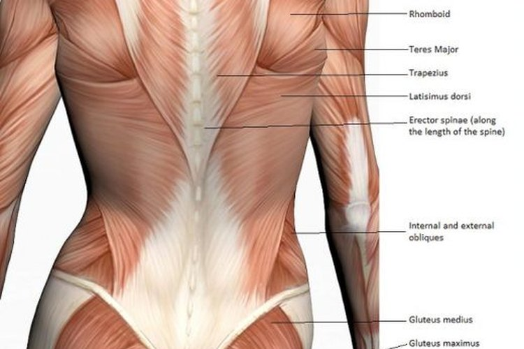 Excepcional Espalda Baja Elaboración - Anatomía de Las Imágenesdel ...