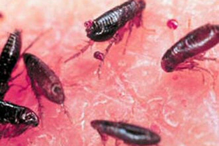 C mo matar los huevos de pulga muy fitness - Matar pulgas en casa ...