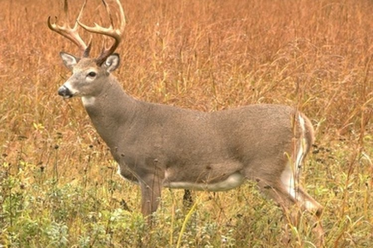 Cleaning this buck's antlers may prove time consuming.