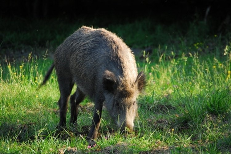 Wild boars, considered nuisance animals, may be hunted any time and without limit.