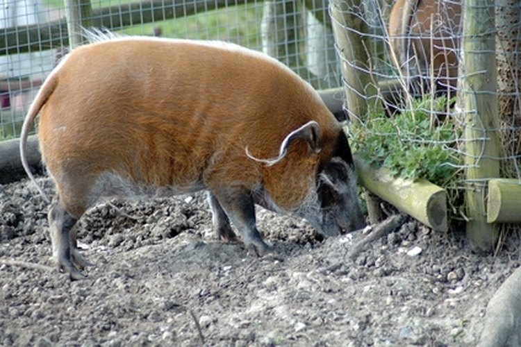 Wild hogs are considered a nuisance animal in most states.