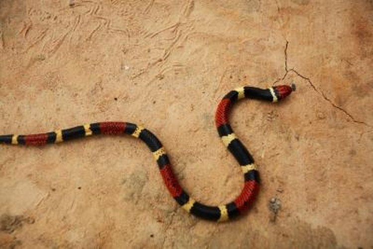 Coral snakes get their name from the coral bands on their bodies.