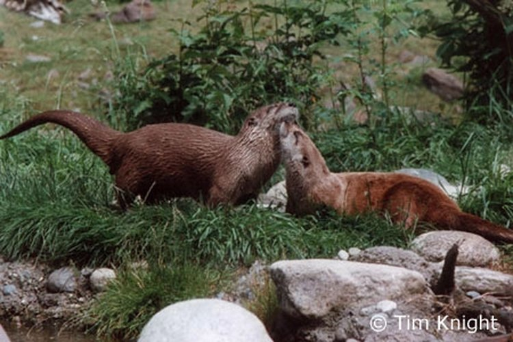 Otters enjoying the yard